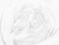 high-key watermark monochrome bright isolated white rose blossom macro,white background,fine art still life single bloom
