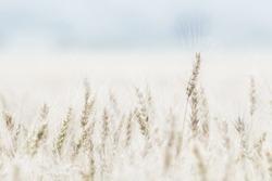 high key wheatfield