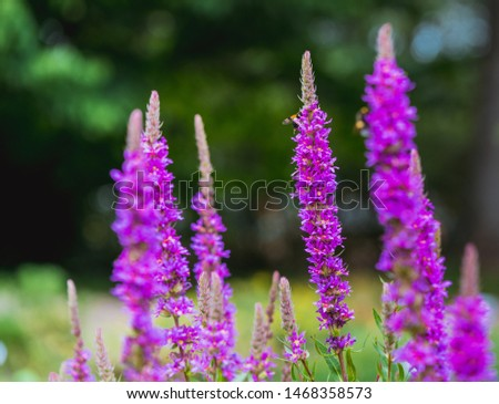 High lavender flowers on the meadow #1468358573