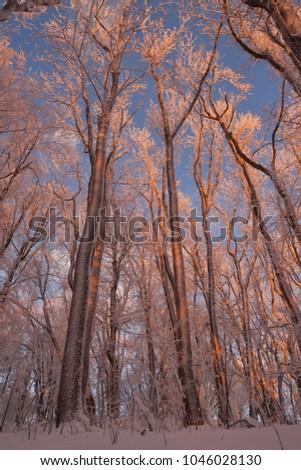 high orange sunlit beech trees Stock fotó ©