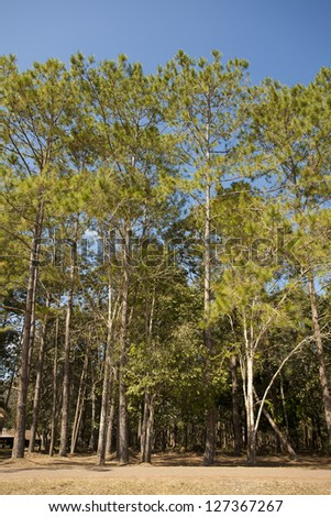 high pine trees, pine tree to the top and clear blue sky