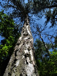 High pine wood and clear blue summer sky