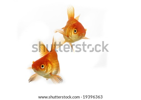 High quality, isolated image of a goldfish on a white background.