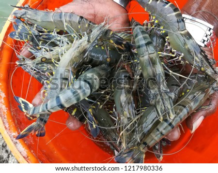 High Quality Tiger Prawn Picture