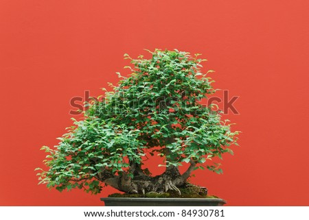 high quality Zelkova bonsai over red background