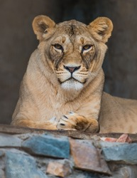 high-res picture of lioness with an artistic background