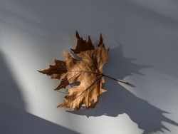 High resolution close up  single autumn leave on the sunlight with a beautiful shadow
