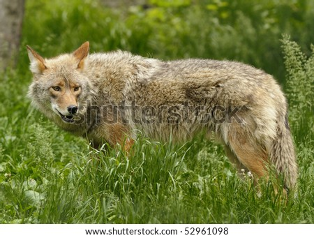 High resolution closeup of a Canadian coyote.
