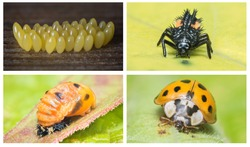 High resolution collage of the complete life cycle of a ladybug. Close ups of all 4 stages of the lifecycle of the Multicolored Asian ladybeetle. Scientific name: Harmonia axyridis. The Netherlands