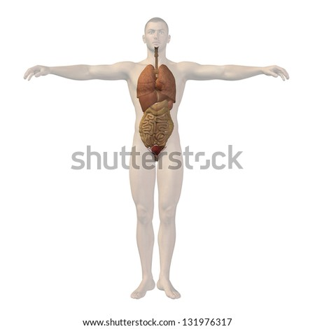 High resolution concept conceptual 3d human man structure with high resolution concept conceptual 3d human man structure with internal organsdigestivelungs and ccuart Images