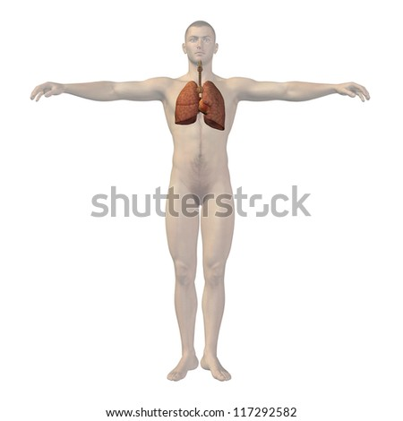 High resolution concept or conceptual anatomical human or man 3D respiratory system isolated on white background as metaphor to anatomy,medical,biology,health,heart,lung,medicine,cardiology or care