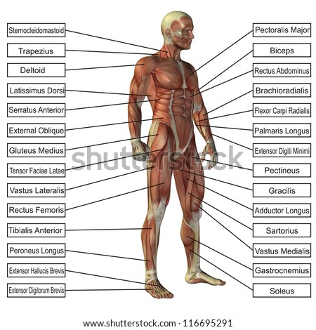 High resolution concept or conceptual 3D human anatomy and muscle isolated on white background as metaphor to body,tendon,spine,fit,builder,strong,biological,skinless, shape,posture,health or medical - stock photo