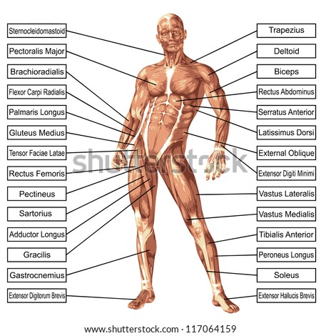 Muscles in the Body - Abby\'s Anatomy Coaching