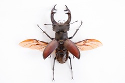 High resolution image of a stag beetle with spread wings