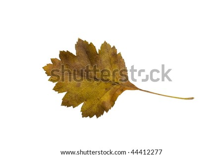 High Resolution leaf of hawthorn isolated on white