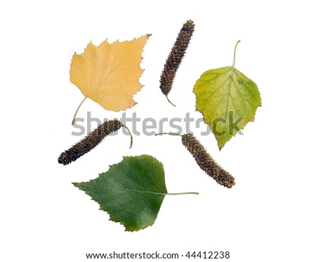 High Resolution leaves and fruits of birch isolated on white