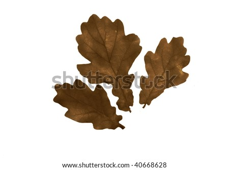 High Resolution leaves of oak isolated on white - stock photo