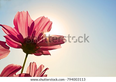 High resolution low angle close up macro photography of beautiful red flower in front of sunrise in winter with copy space. Warm sunshine made red petal transparently and turn in to pink flower.