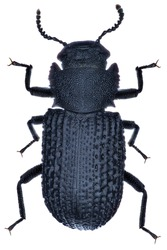 High resolution macro photo of an entomological specimen of the insect species Bolitophagus reticulatus