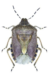 High resolution macro photo of an entomological specimen of the insect species Dolycoris baccarum