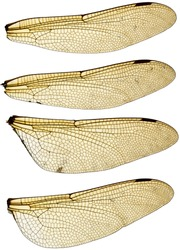 High resolution scan of a set of four dragonfly wings.