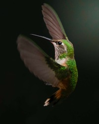 High speed image of a brown and green doctor bird