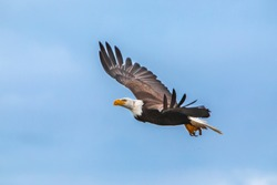 High-speed shot of an American Bald Eagle with meat scraps in its talons, photographed in Sandspit, Haida Gwaii, British Columbia.