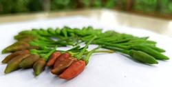 High Tartness indian Pungent chilli
