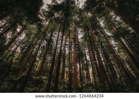 High trees of dark redwood forest viewed from low angle in wide angle