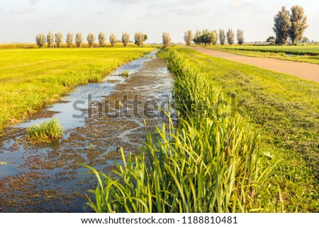 High water level in a Dutch polder ditch with duckweed and a mirror smooth dark blue reflecting water surface. Reed plants growing on the edge of the ditch. It is a sunny day at the end of the summer.
