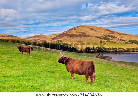 Highland angus cow grazing green grass on a farm grassland