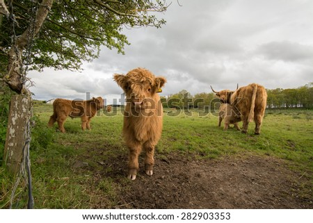 Highland calves and cows in farm field - Scotland UK