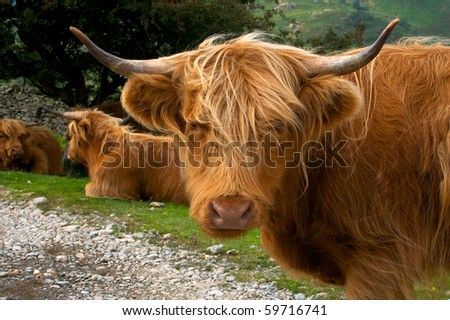 Highland Cattle - A beautiful golden haired highland cow glances at the camera with her friends behind.