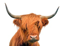 Highland cattle, a Scottish cow, isolated on white background