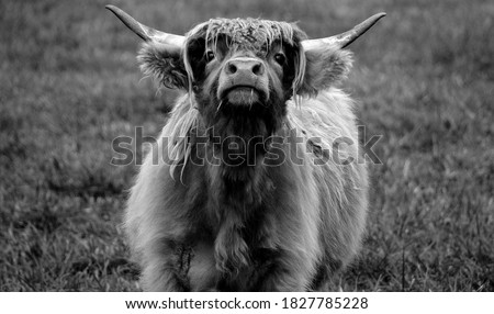 Highland cattle are a Scottish breed of cattle with long horns and long wavy coats which are colored black, brindled, red, yellow or dun. Сток-фото ©