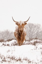 Highland Cattle (Bos taurus taurus) covered with snow and ice. Deelerwoud in the Netherlands. Scottish highlanders in a natural winter landscape.