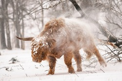 Highland Cattle (Bos taurus taurus) shaking off snow, covered with snow and ice. Deelerwoud in the Netherlands. Scottish highlanders in a natural winter landscape.