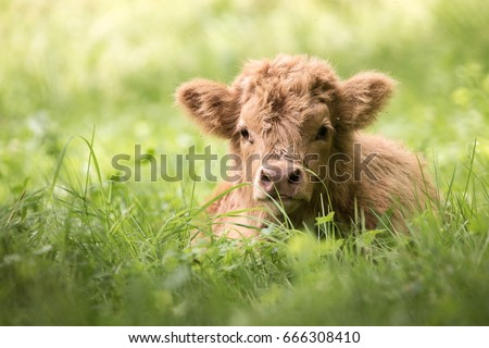 Highland cattle calf lying in high grass