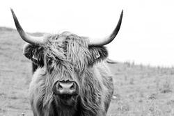 highland cattle closeup