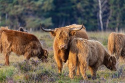 Highland cattle is standing in the grass at the veluwe with other cattles.