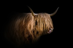 Highland Cattle with black background