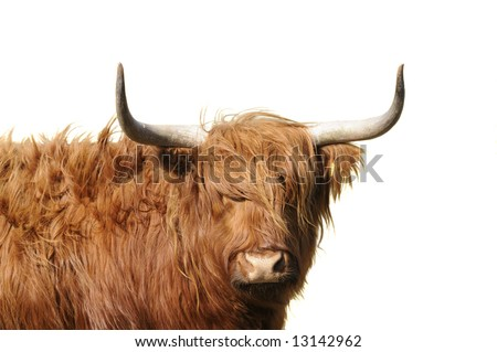 stock photo : Highland cattle with wind blowing its long hair isolated