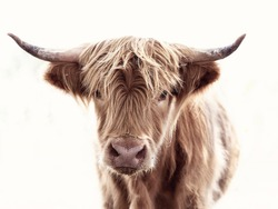 Highland cow brown