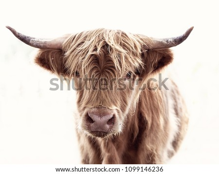 Highland cow brown - Shutterstock ID 1099146236