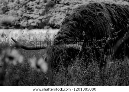 Highland cow grazing in a meadow. #1201385080