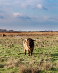 Highland Cow in Oare Marsh Nature Reserve, Faversham, Kent, England, UK