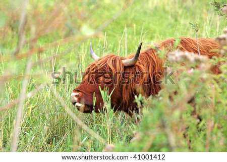 highland cow in tall grass landscape
