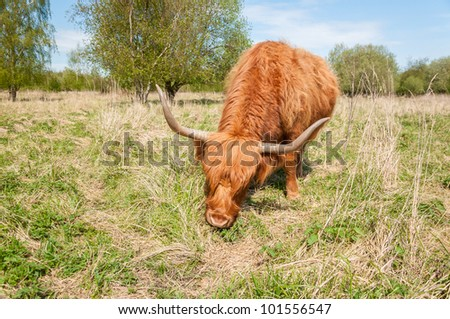 Highland cow in winter coat eating grass.