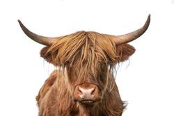Highland cow on white background headshot