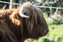 Highland cow relaxing in the spring sunshine
